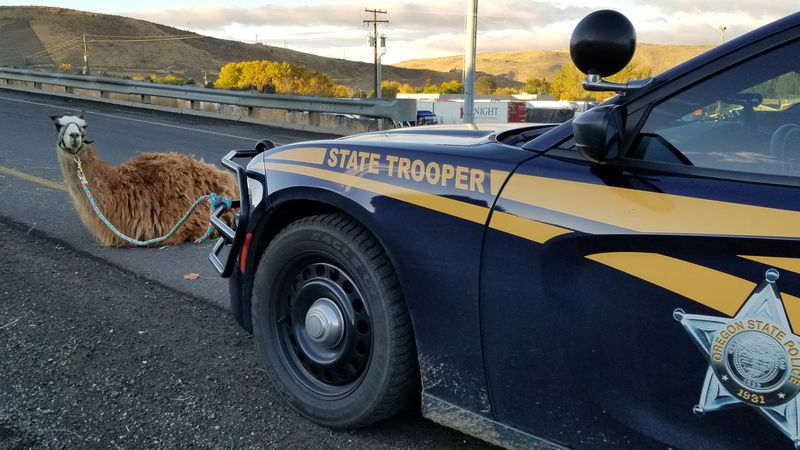 "The trooper took a photo to prove she had caught the ""elusive I-84 llama."""
