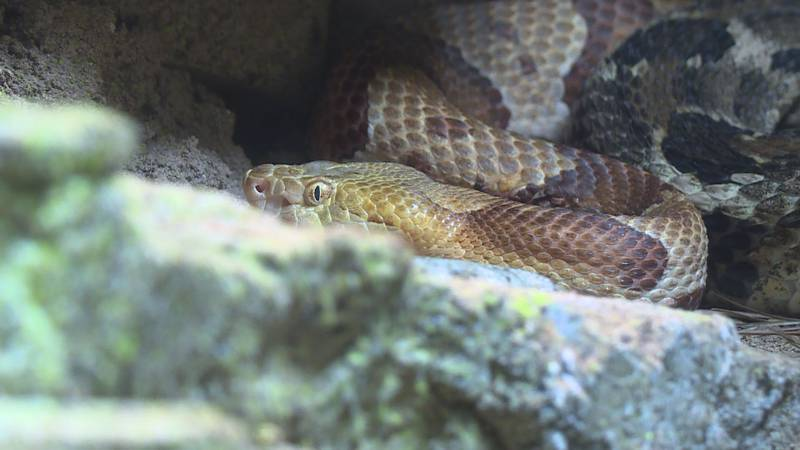 Copperhead snake at Zoo Knoxville