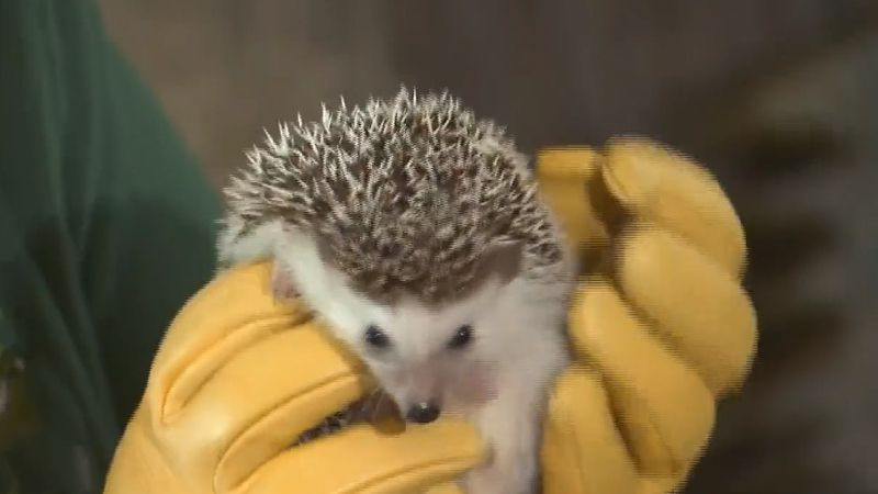 Clover the hedgehog is back at Bay Beach Wildlife Sanctuary. March 2, 2020. (WBAY Photo)
