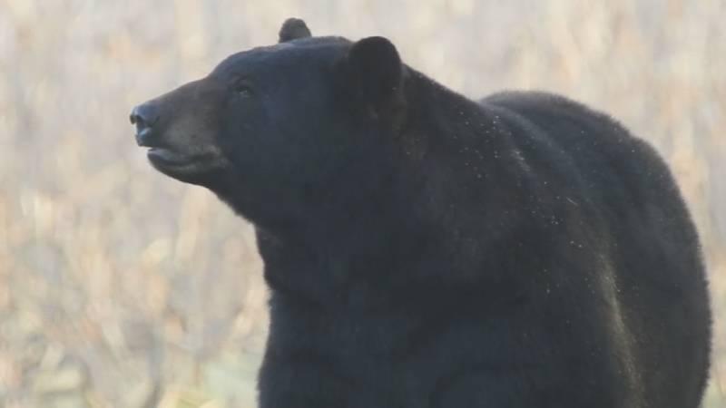 File image of a black bear.