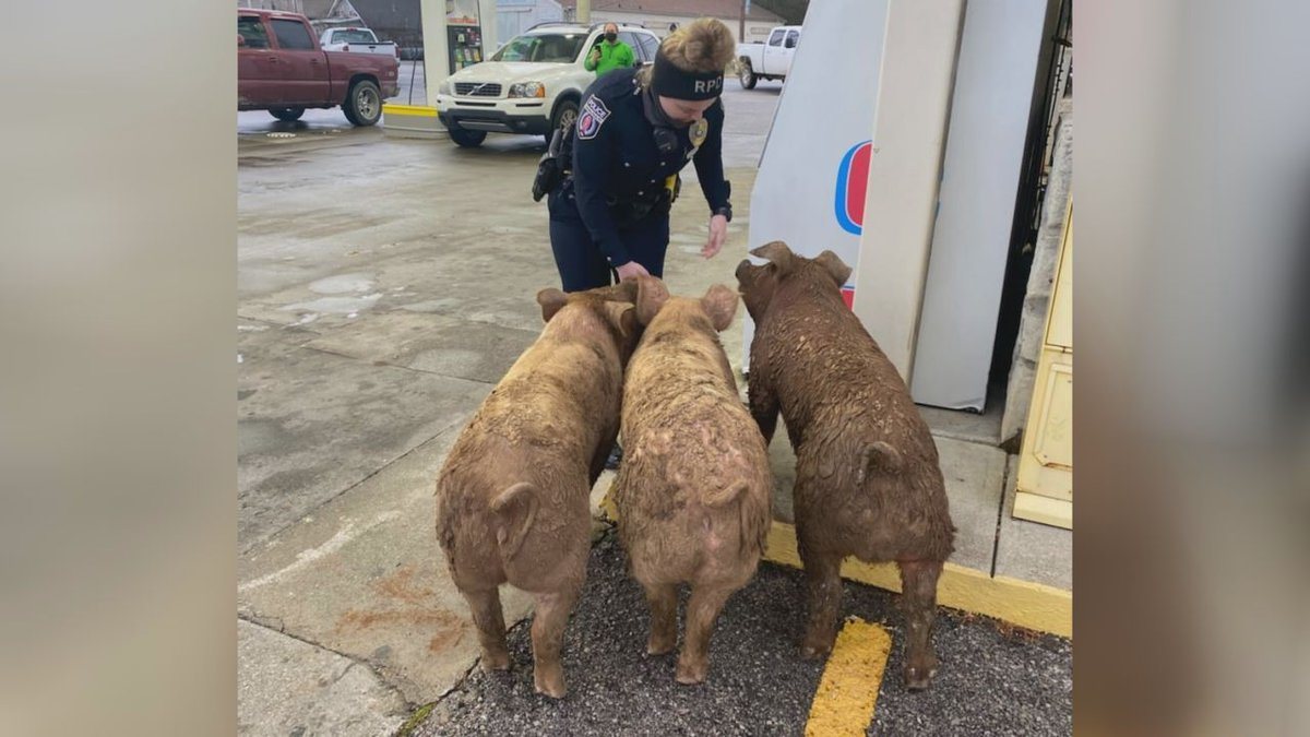 We guess the pigs needed to go to the market?