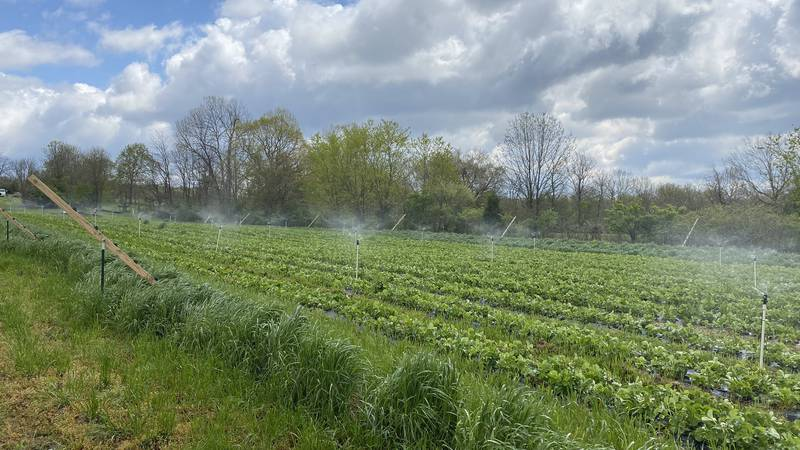 During late season cold snaps, Brent Marcum uses sprinklers to keep this plants wet, and while...