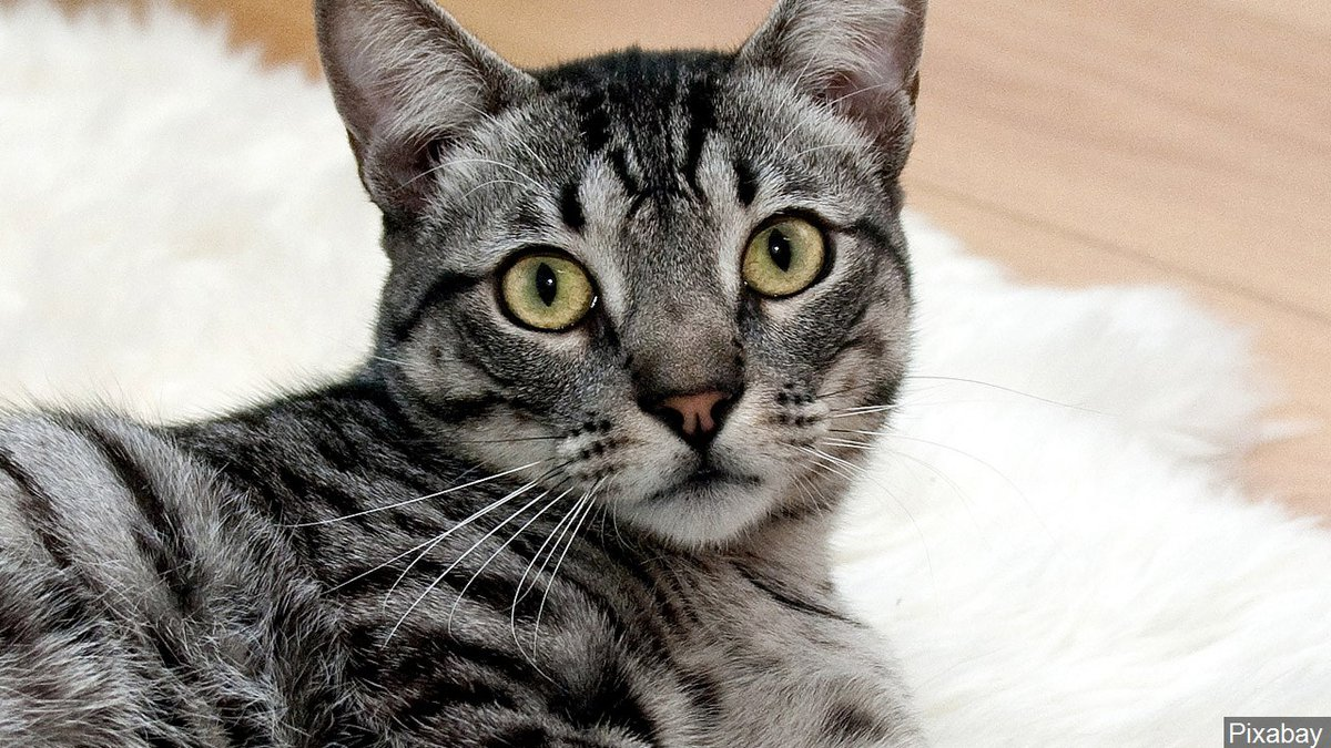 A pet cat / Source: Pixabay